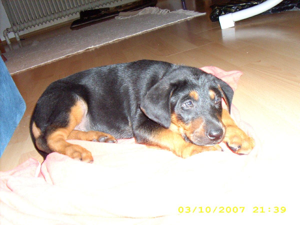 Pics Photos - Dobermann Rottweiler N En 2009 R De Mix Dobermann Rotti ...