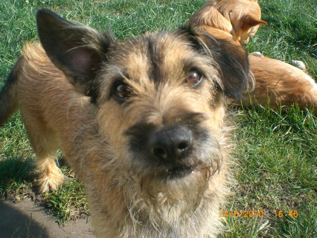 Elias (Border Terrier, Cairn Terrier, Dackel, Jack Russell Terrier ...