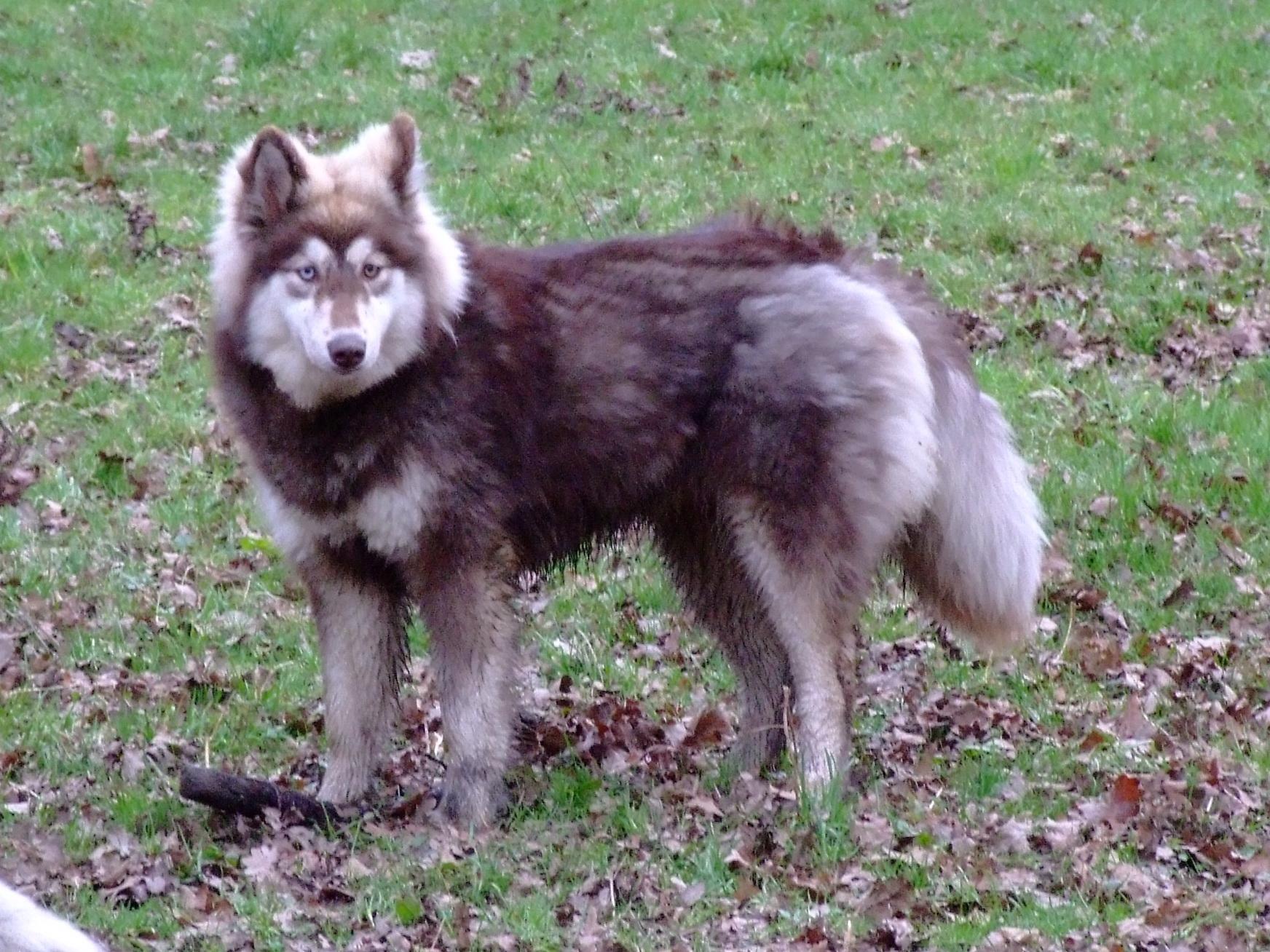 Chena (Malamute, Siberian Husky) | Mischling - Mix