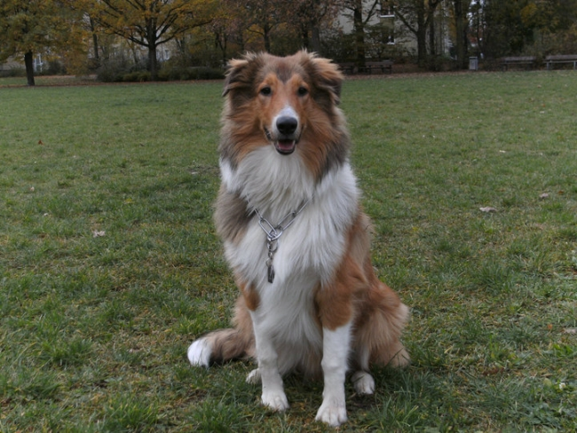 Dingo (Collie, Australian Shepherd) | Mischling - Mix