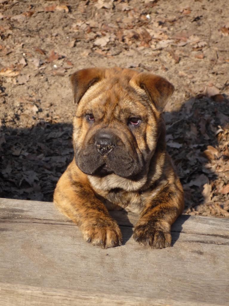 tiger english bulldog shar pei mischling mix. Black Bedroom Furniture Sets. Home Design Ideas