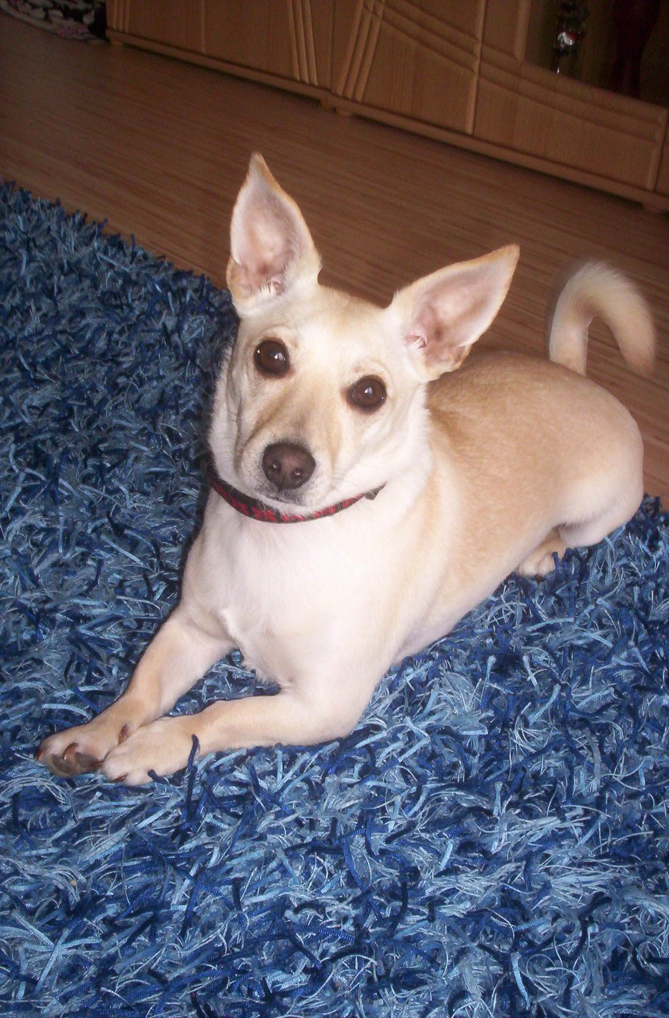 Chihuahua dackel jack russell terrier pinscher