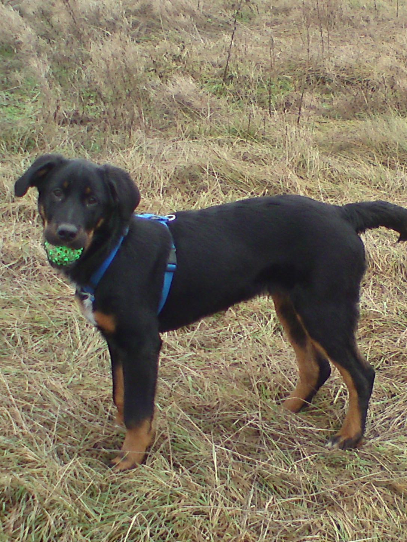 sam collie deutscher sch228ferhund riesenschnauzer