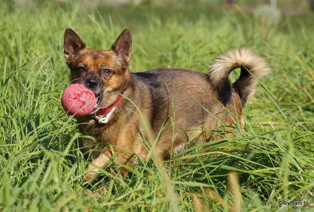 Chihuahua Schäferhund Mix