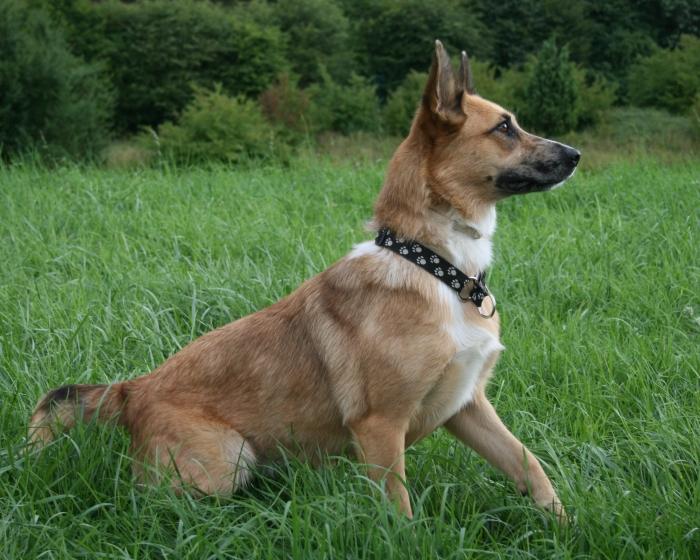 Australian Shepherd Cattle Dog