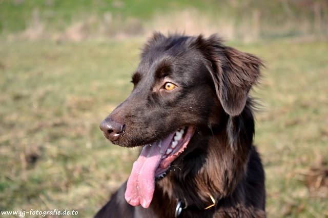 Back > Gallery For > Labrador Australian Shepherd Mix
