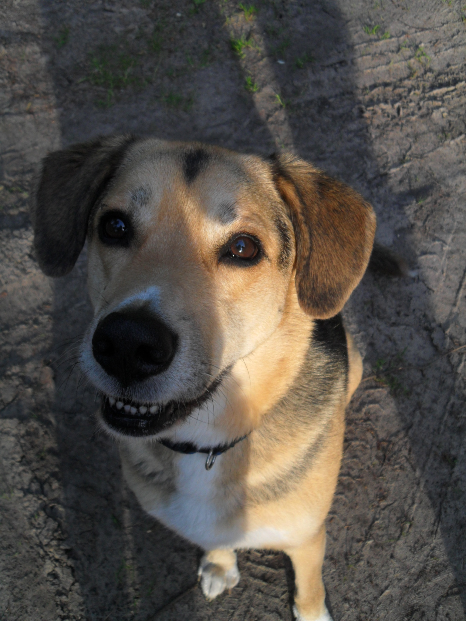 Viewing Gallery For - Husky Beagle Mix