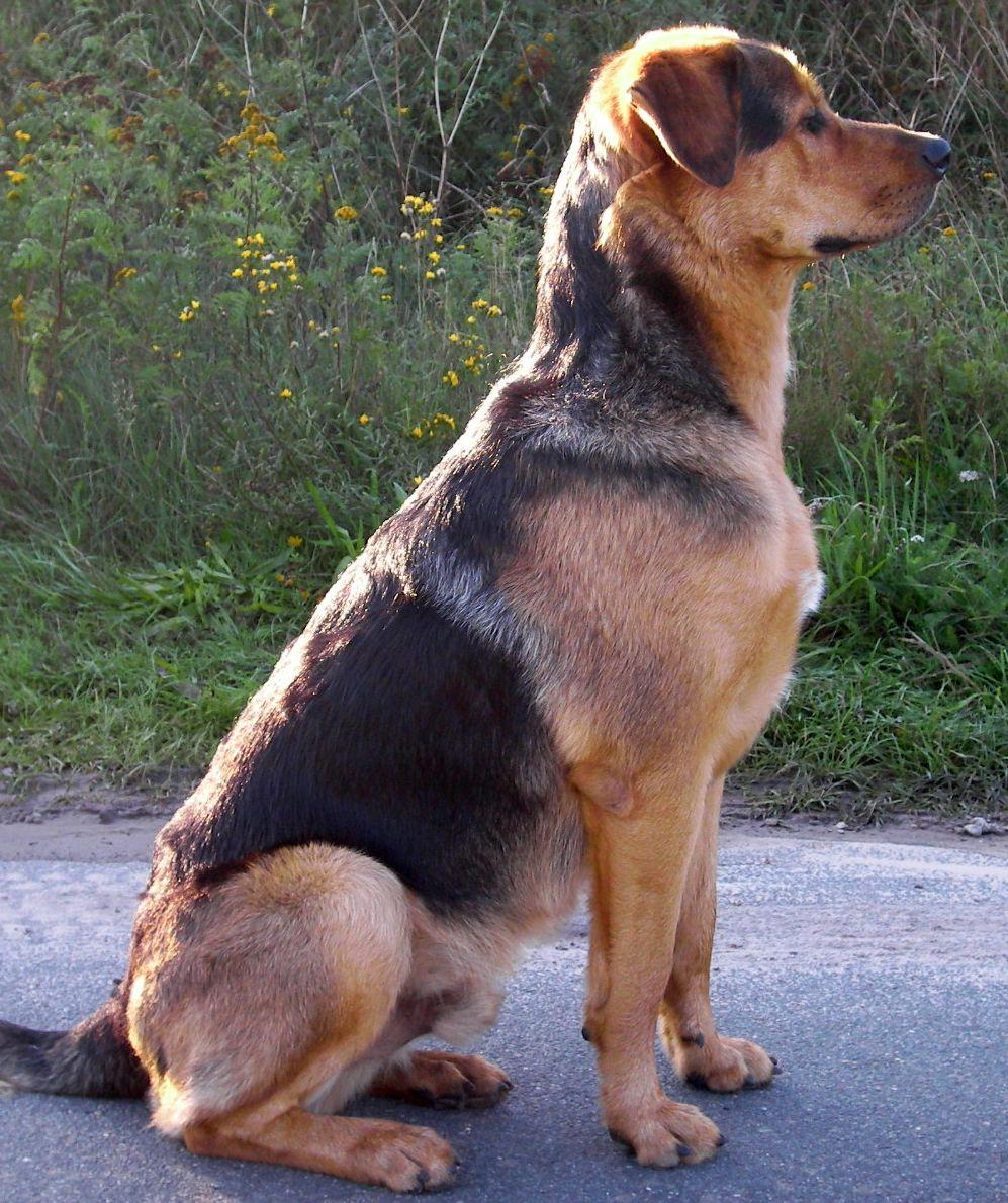 Deutscher schaferhund rottweiler mix
