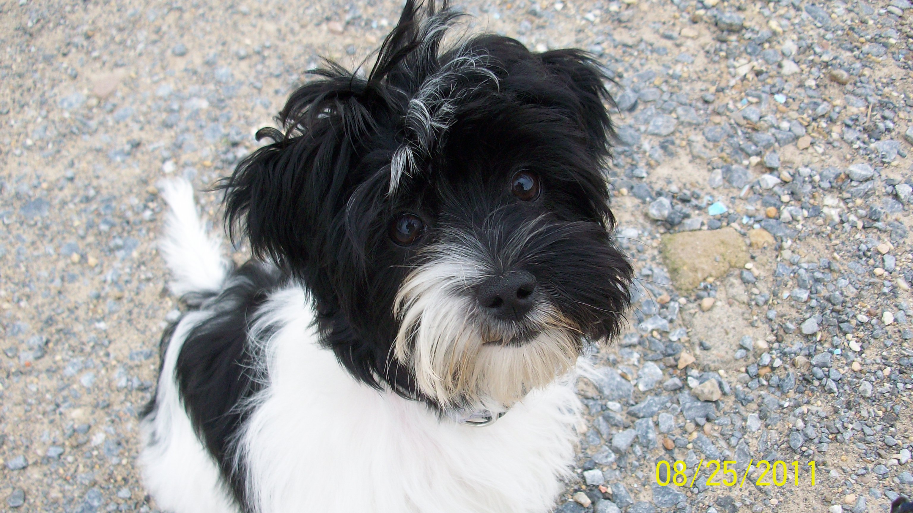 yorkshire terrier and shih tzu mix ayla shih tzu yorkshire terrier mischling mix 9230