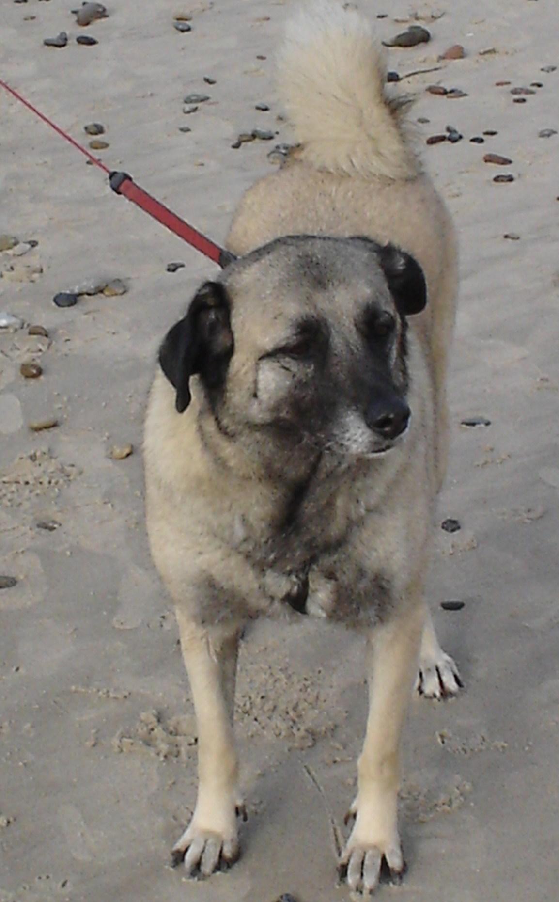 Laika Belgischer Schaferhund Kangal Meinmischling De