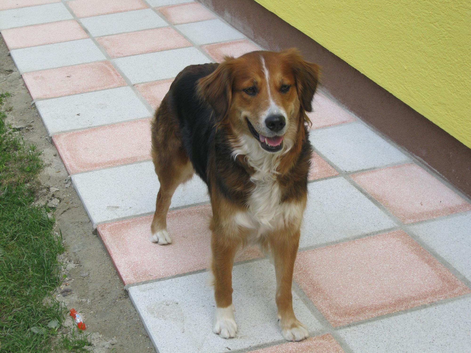 Akita (Australian Shepherd, Deutscher Schäferhund, Golden Retriever ...