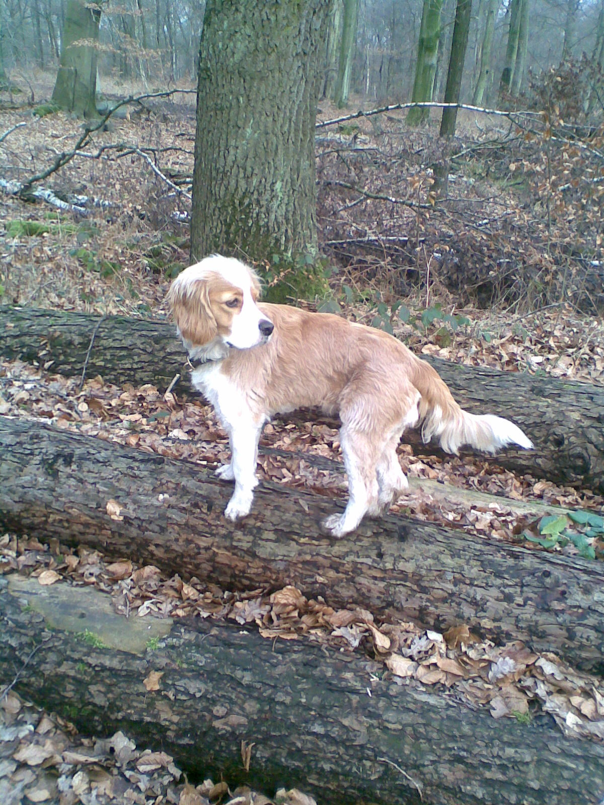 cocker spaniel collie mix lotta border collie cocker spaniel mischling mix 5464