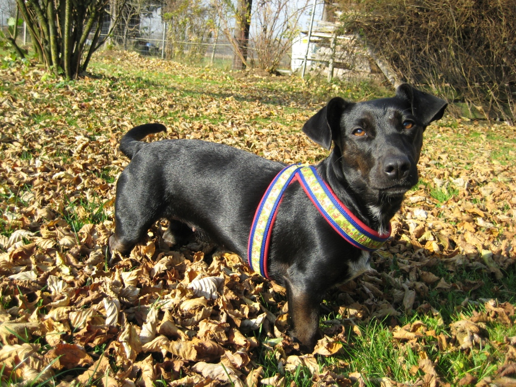 Dackel terrier mix kurzhaar