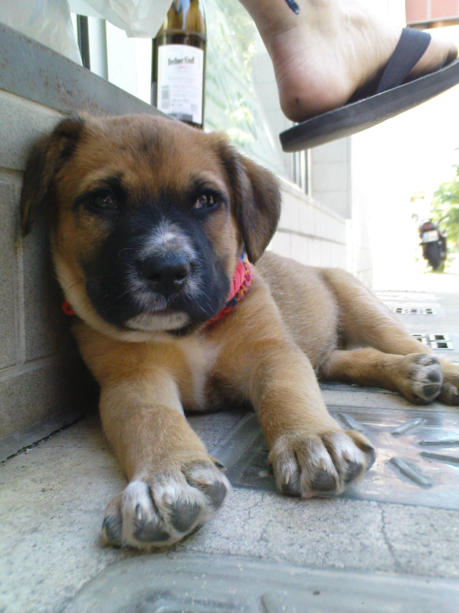 Bullmastiff X Bull Terrier X American Bull Dog For Sale