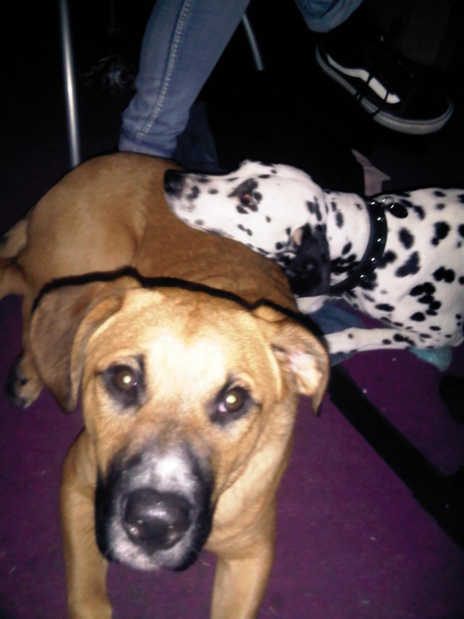 Displaying 17> Images For - Pointer Boxer Pit Mix...