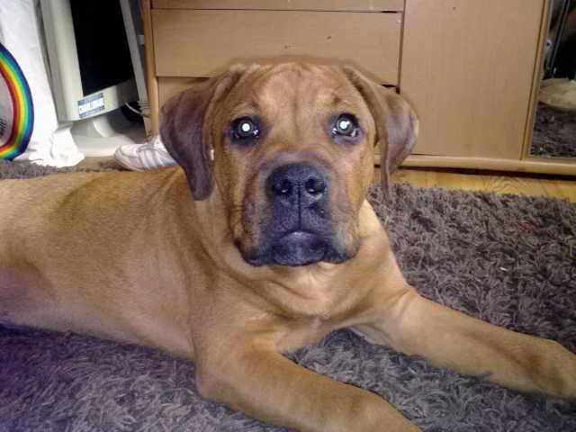Mix with Rottweiler http://www.meinmischling.de/cyrus-deutscher-boxer ...