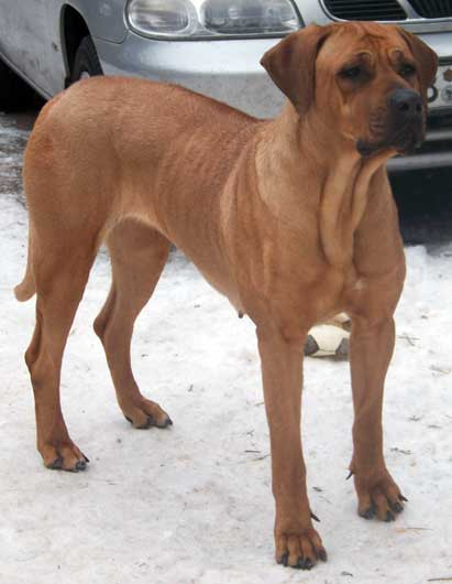 Rhodesian Ridgeback Lab Mix For Sale | Dog Breeds Picture