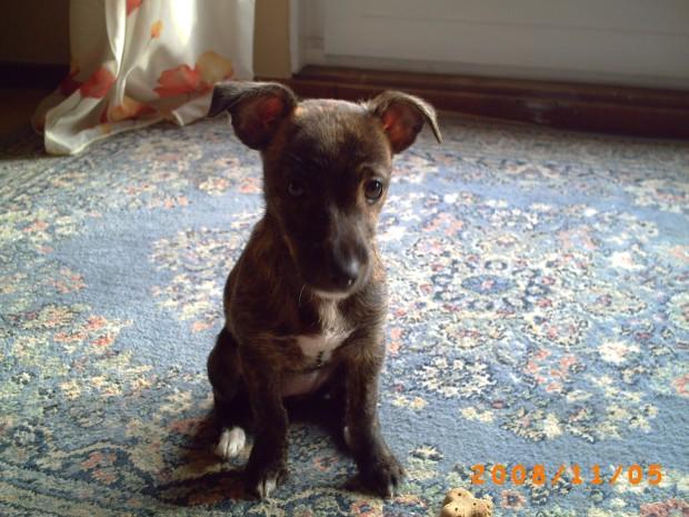 West Palm Beach, FL - Cairn Terrier/Jack Russell Terrier Mix. Meet Ted