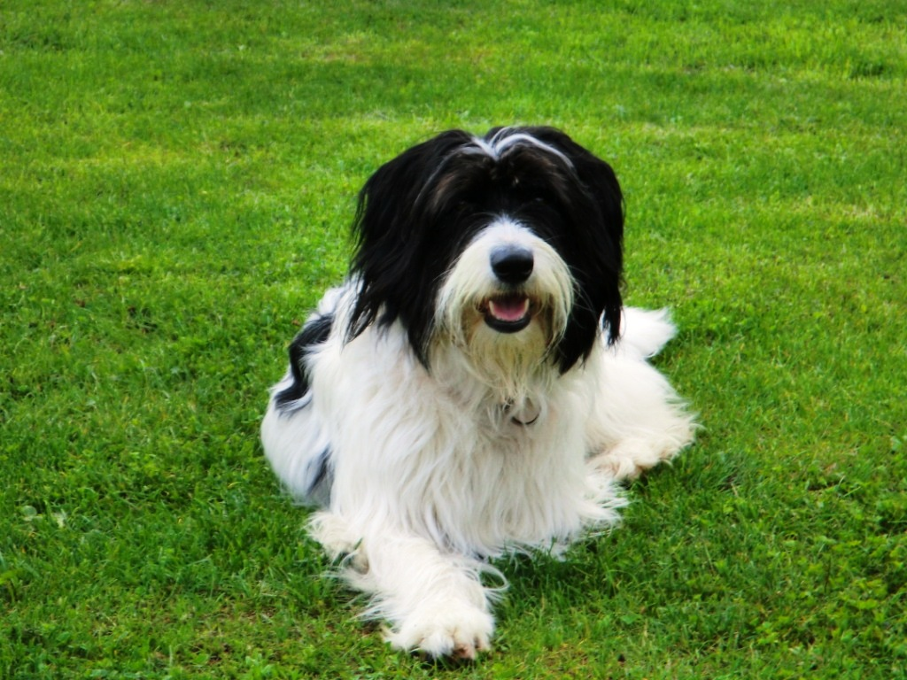 Bearded collie pudel mischling