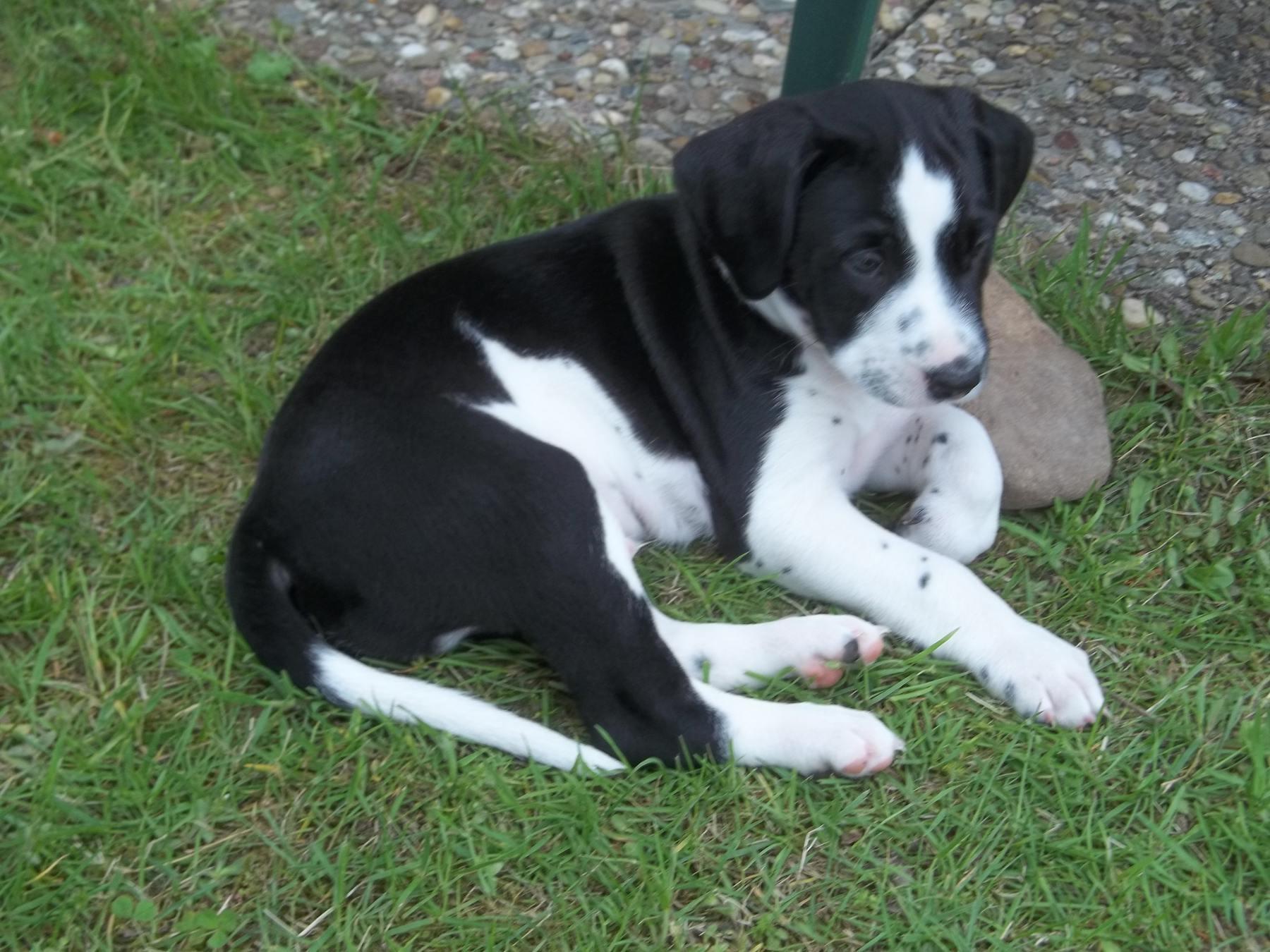 dalmatiner schäferhund mischling