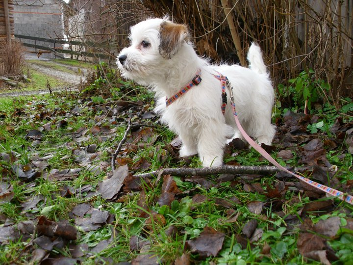 Lilly (Jack Russell Terrier, Shih Tzu) –