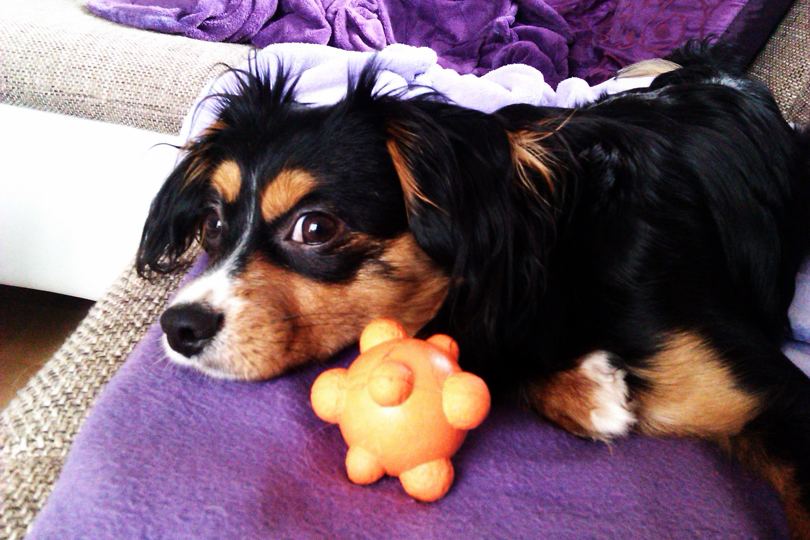 1 (64) Cookie (Cavalier King Charles Spaniel, Deutscher Pinscher)