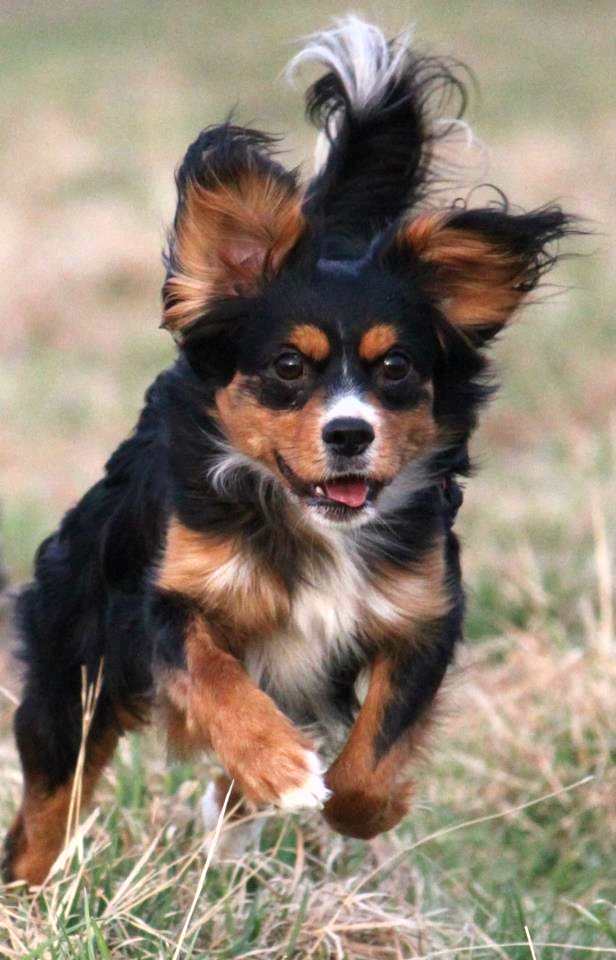 Super Cookie (Cavalier King Charles Spaniel, Deutscher Pinscher #TX_67