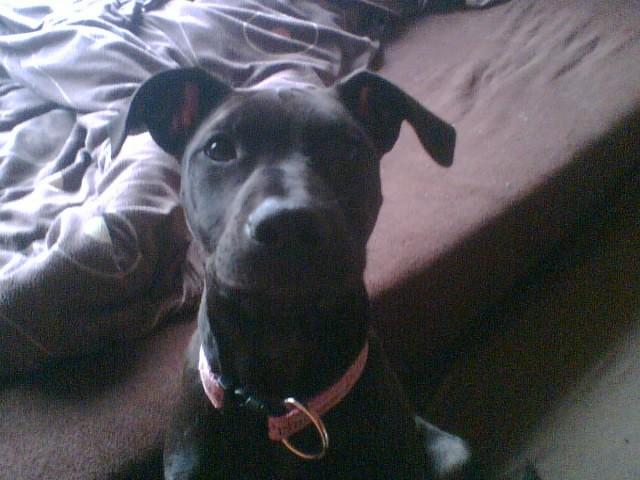 Anjala American Pitbull Terrier Dobermann Meinmischling De