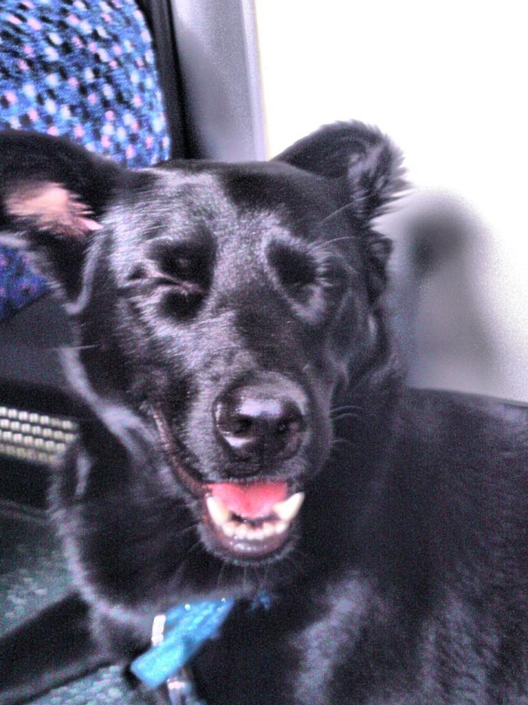 Luna Belgischer Schaferhund Labrador Meinmischling De