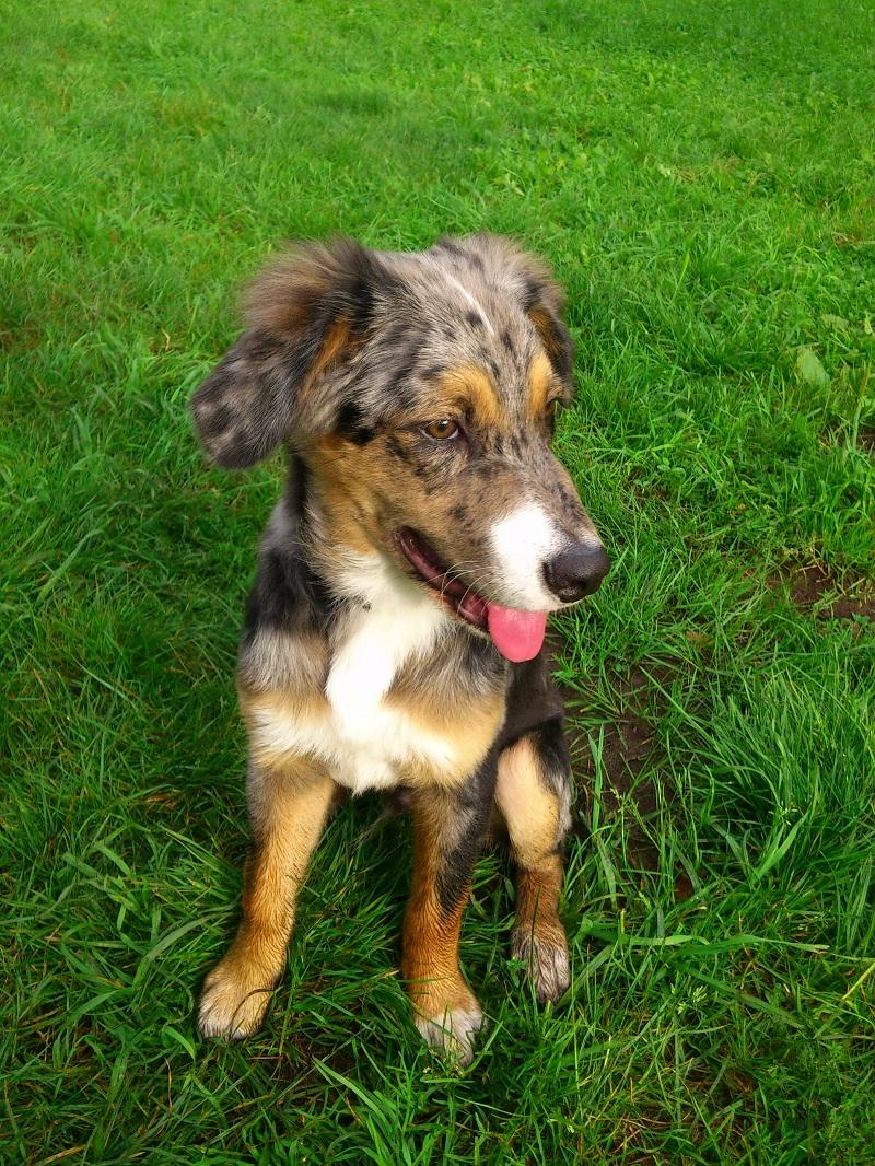 Blaze (Australian Shepherd, Berner Sennenhund, Border ...