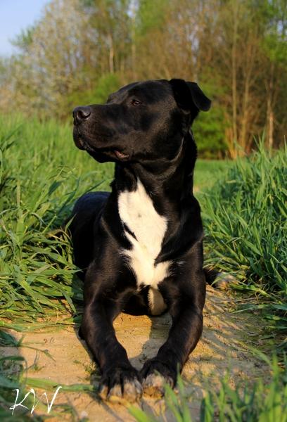bella amerikanischer staffordshire terrier kuvasz