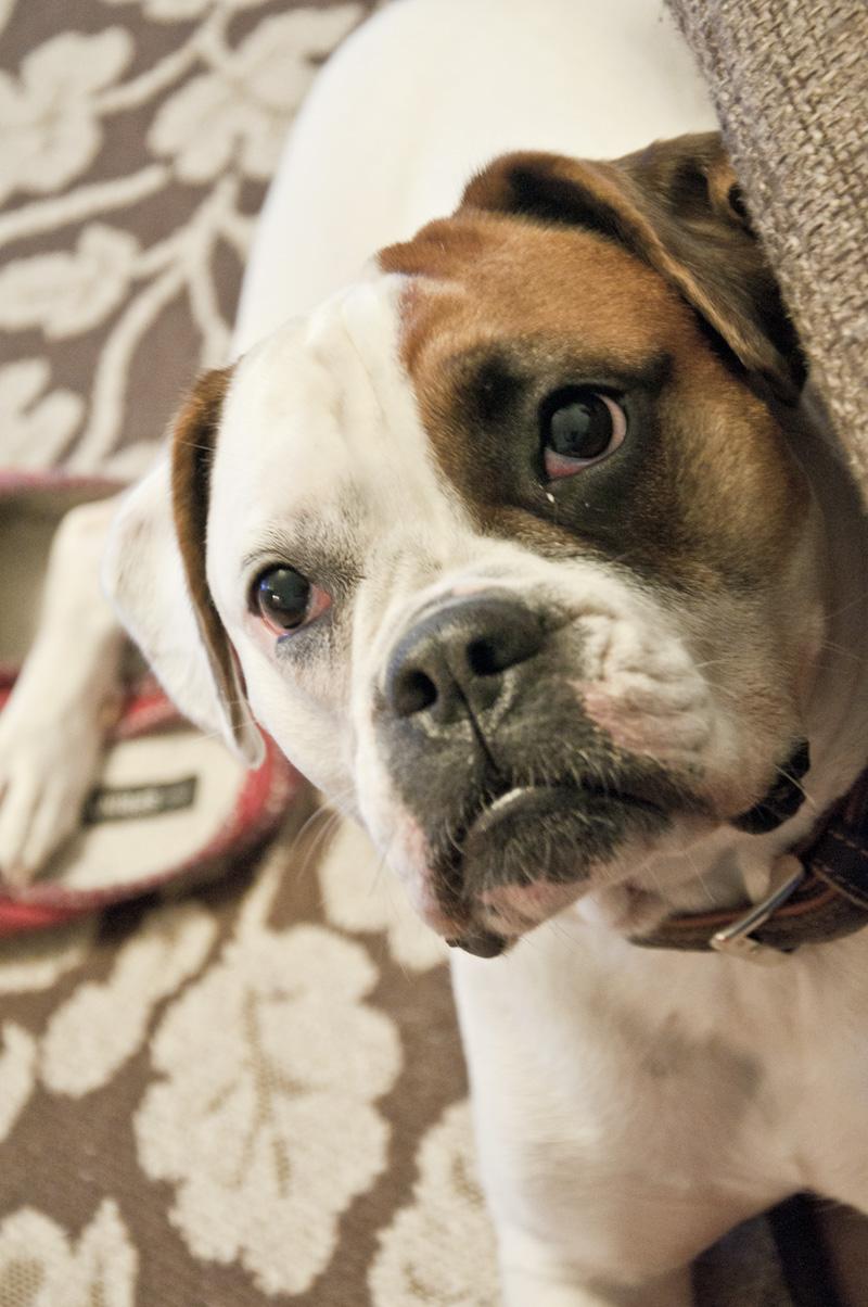 Bulldoggen Mischling