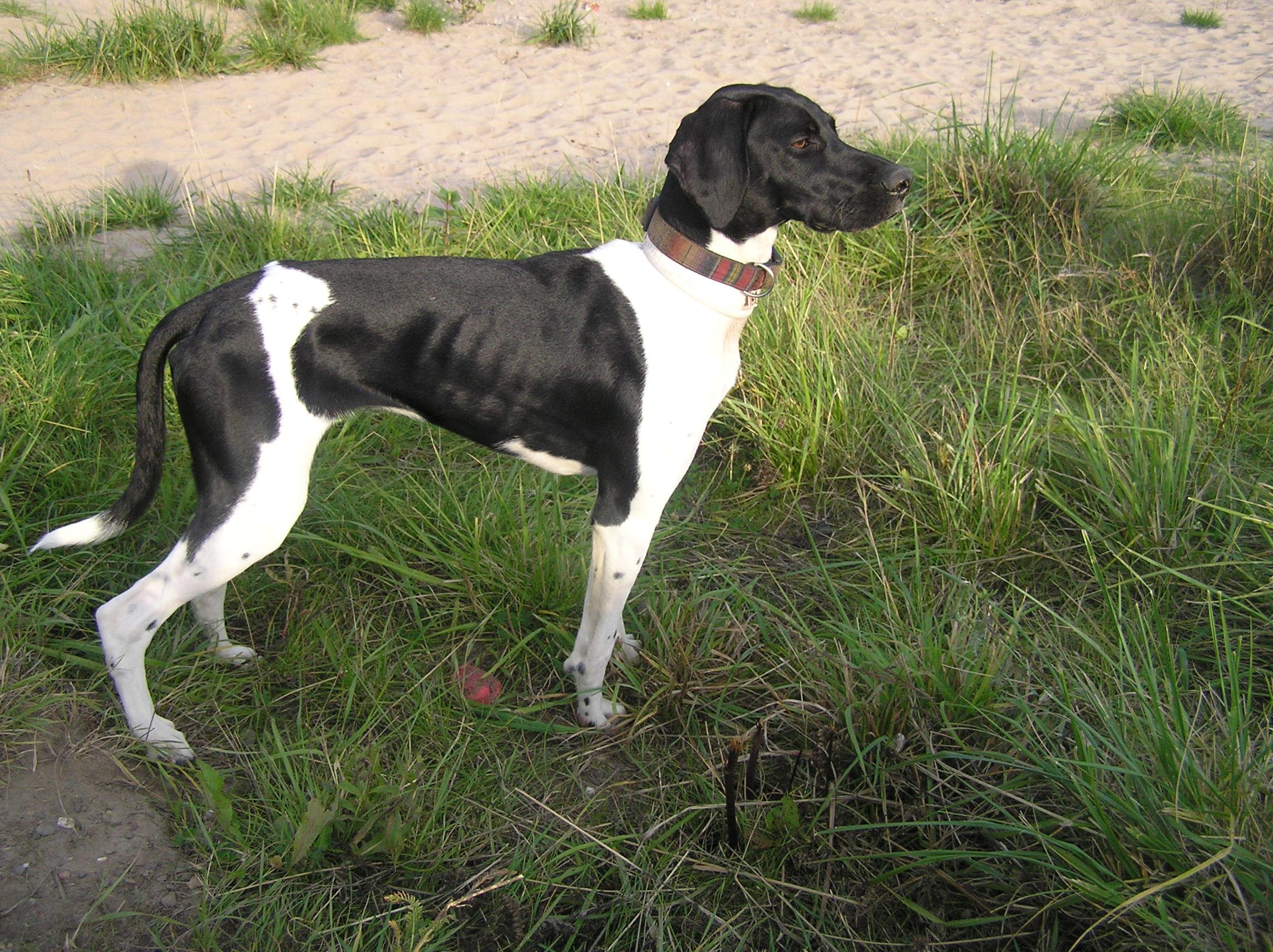 Pointer Collie Mix | Dog Breeds Picture
