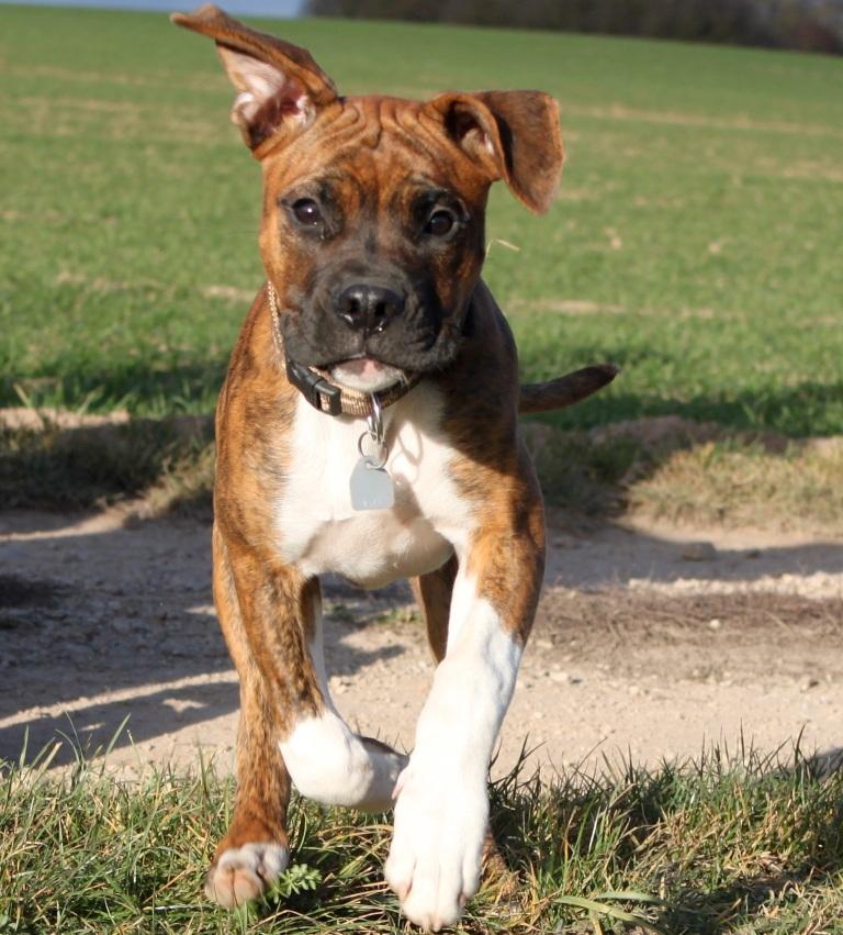 Tyson American Bulldog Bordeauxdogge Deutscher Boxer