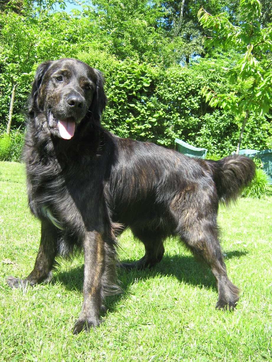 nick Nick (Flat Coated Retriever, Labrador)