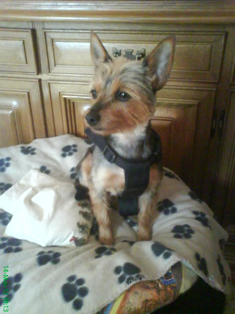 Backi (Yorkshire Terrier, Zwergpinscher)