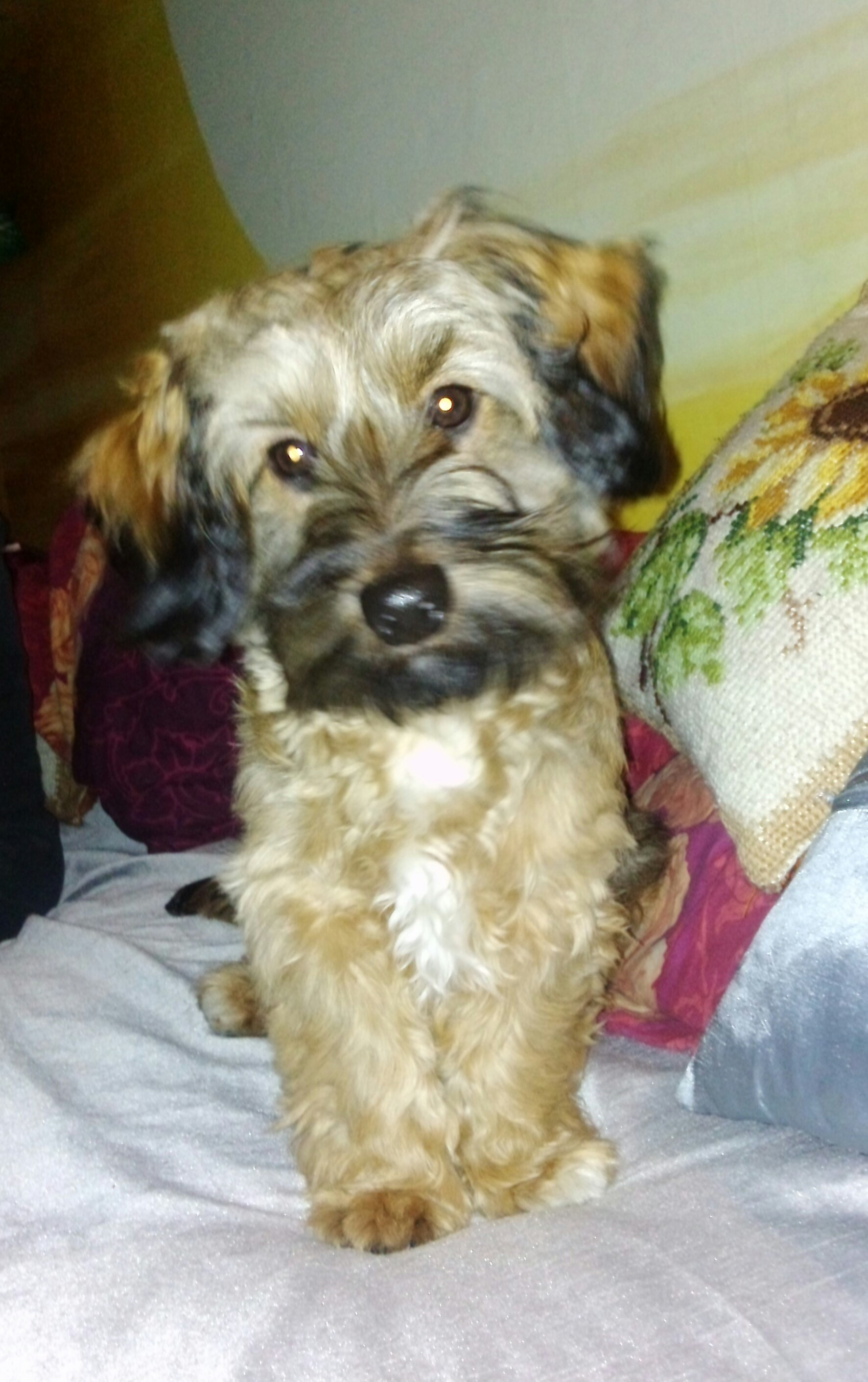 Dog Ready For Adoption Yorkshire Terrier Yorkie Schnauzer Mixed | Dog ...