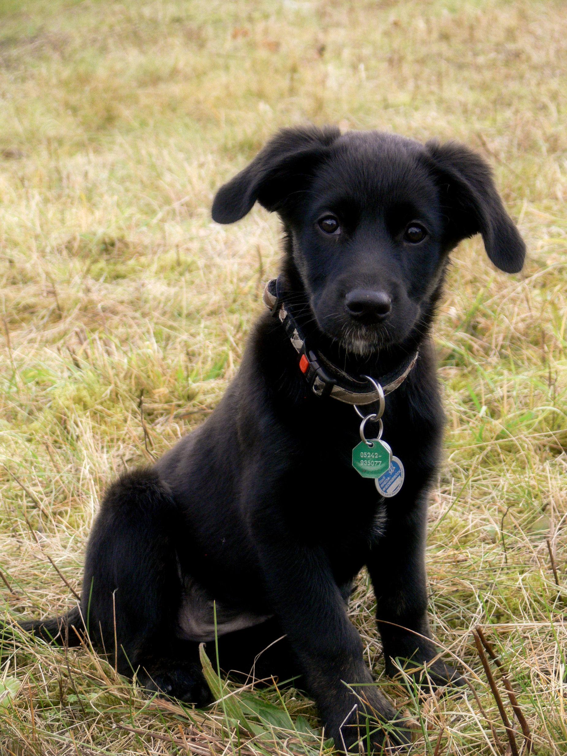 Molly (Australian Shepherd, Berner Sennenhund, Border ...