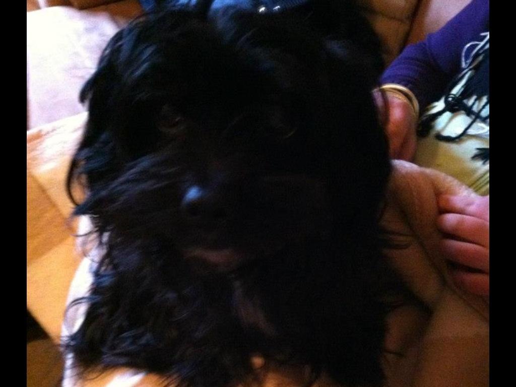 nelly dackel pudel terrier unbekannt yorkshire terrier mischling mix. Black Bedroom Furniture Sets. Home Design Ideas