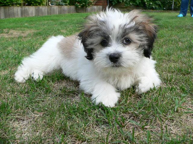Dog Breed Lhasa Apso Price