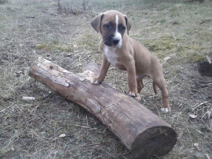 ... Staffordshire Terrier, Deutscher Boxer, Schnauzer) | Mischling - Mix