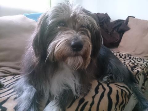 Img 20140203 094053 jack malteser tibet terrier westhighland
