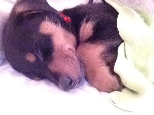 Rocco (Dackel, Malteser, Westhighland Terrier)