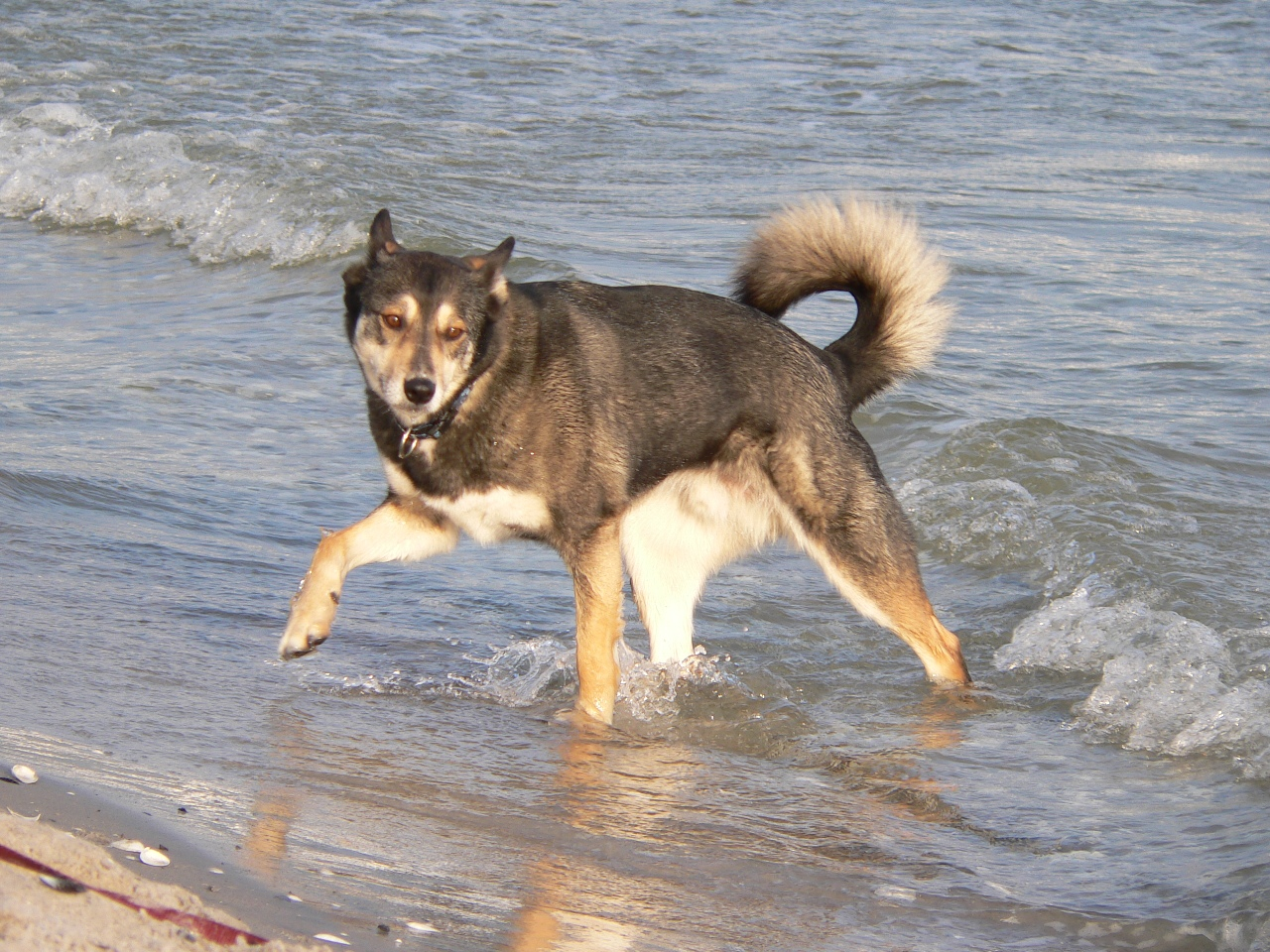 rottweiler husky mix displaying 16 images for rottweiler husky mixSiberian Husky Rottweiler Mix