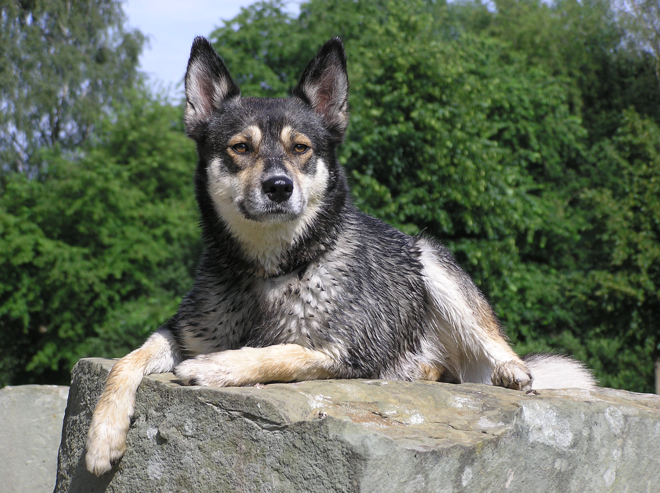 Siberian Husky Wolf Mix Puppy Photo - Happy Dog Heaven  |Black Siberian Husky Wolf Mix