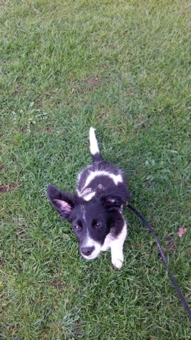 1395582539779 Lilly (Border Collie, Dackel)