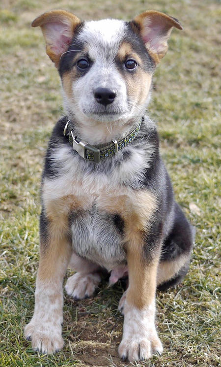 Australian Cattle Dog Terrier Mix Images & Pictures - Becuo