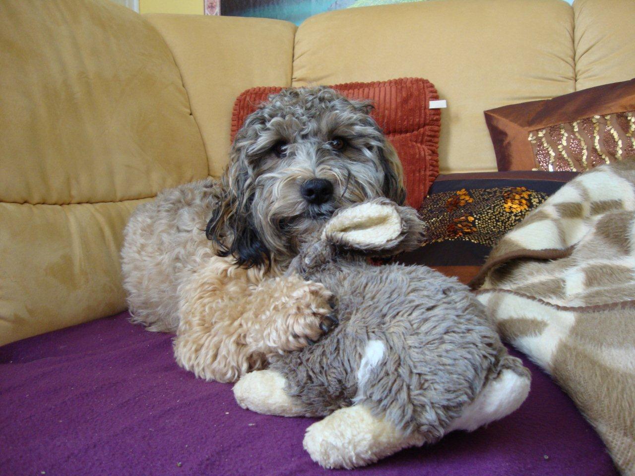 Layla Pudel Tibet Terrier Mischling Mix