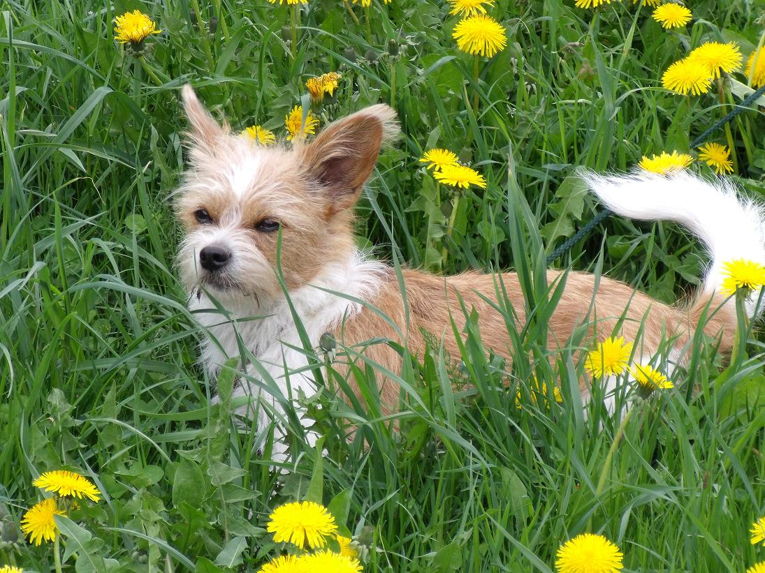 Cairn Terrier Jack Russell Terrier Mixed Breed Dog Pictures to pin on ...