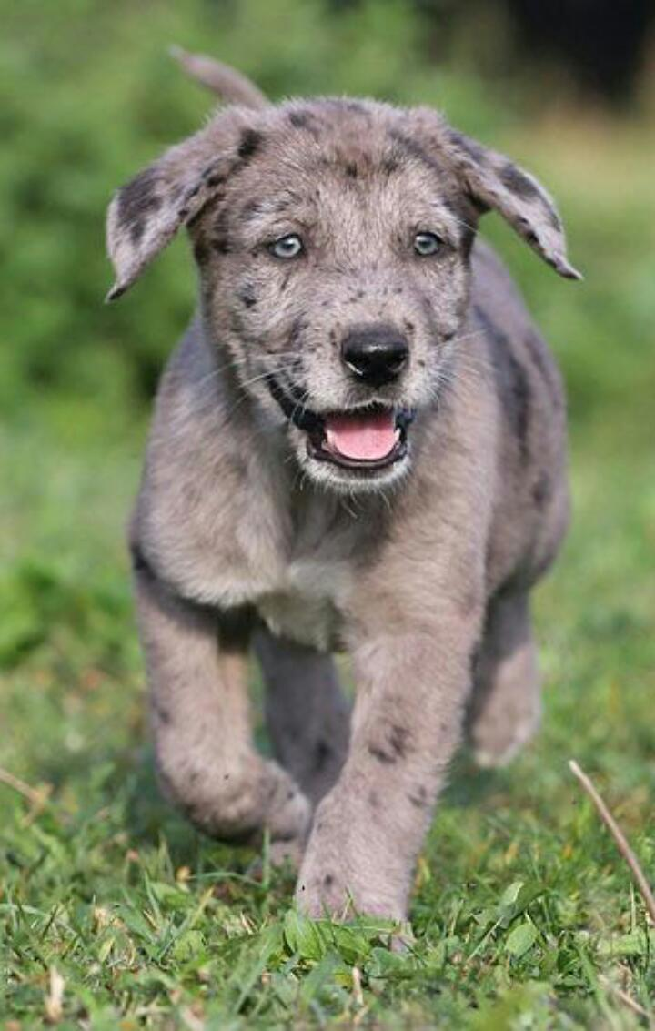 Tyson Deutsche Dogge Kaukasischer Owtscharka